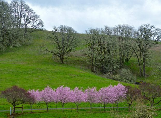 Pink flowering trees in a field of green grass