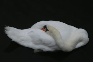 White swan tucking its head under its wing against a black background