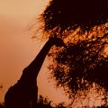 Sihlouette of a giraffe and brushy trees against an orange sunset background